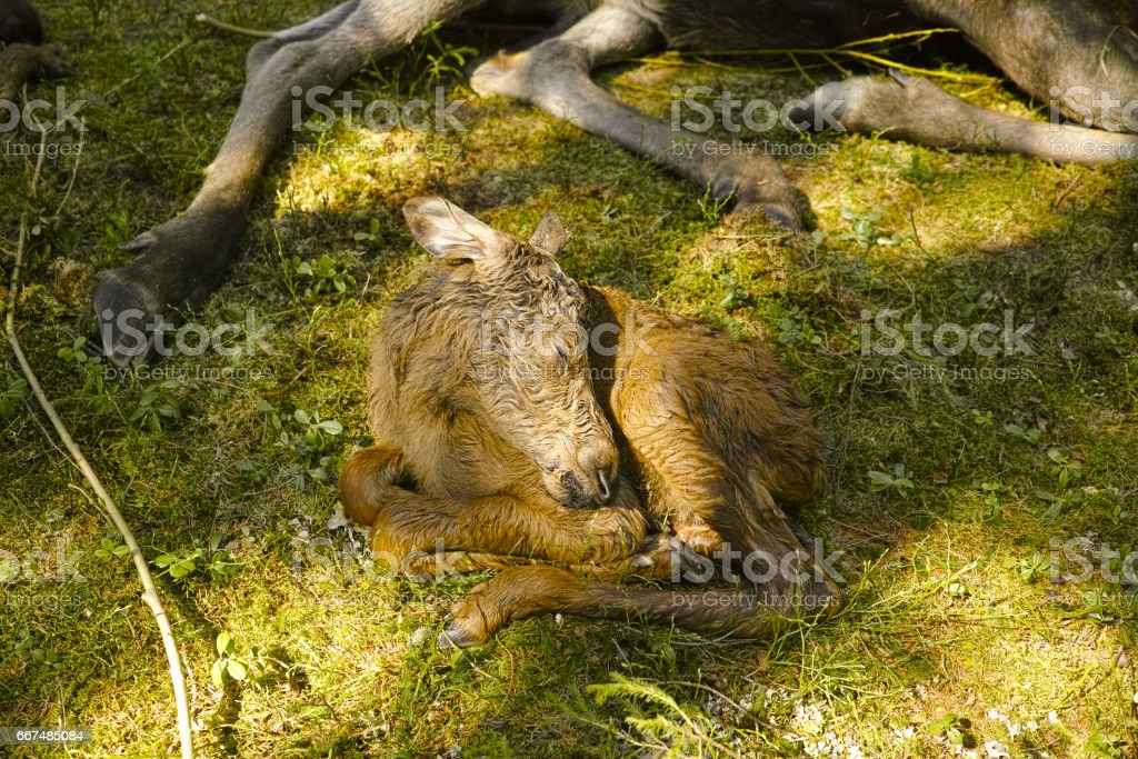 sleeping Moose calf stock photo