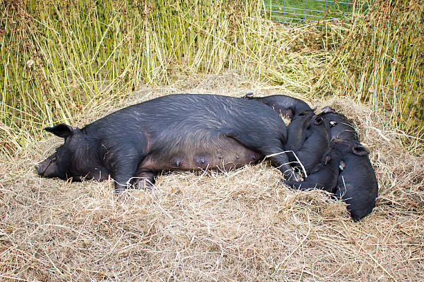 Sleeping Mother Pig and Piglets stock photo