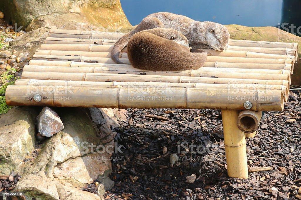 sleeping Otters stock photo