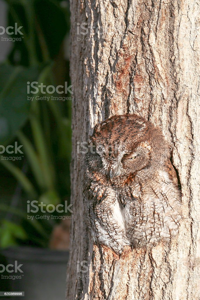 Sleeping owl in  a hole of tree trunk(5) zbiór zdjęć royalty-free