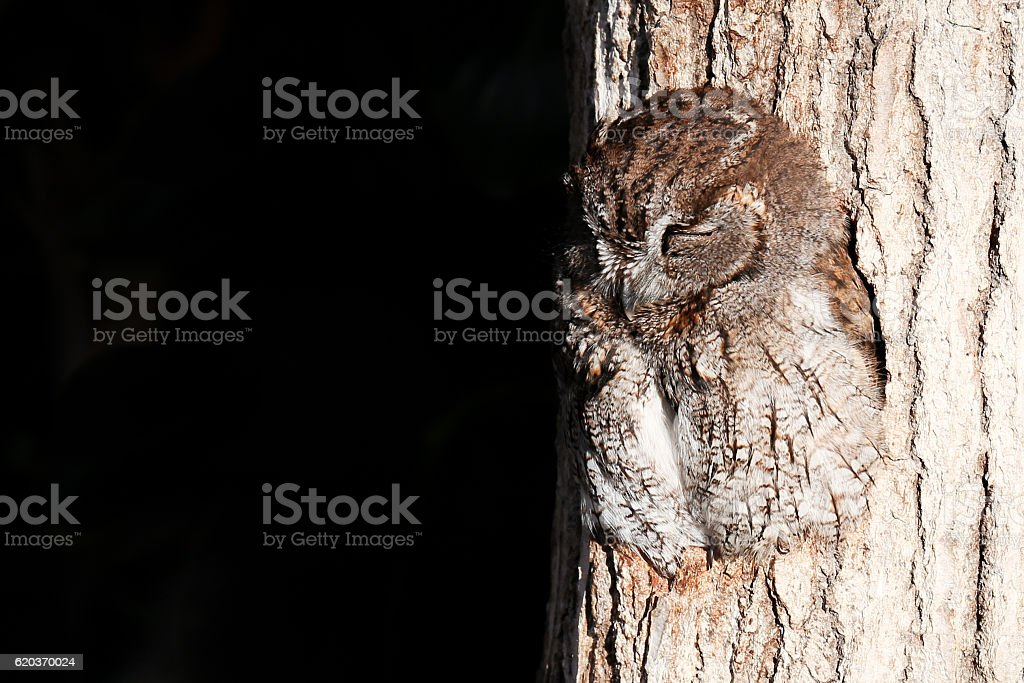 Sleeping owl in  a hole of tree trunk(4) zbiór zdjęć royalty-free