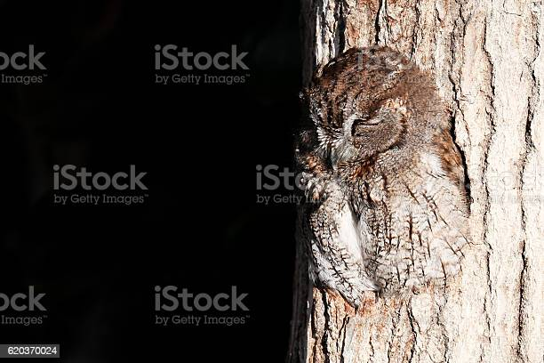 Sleeping owl in a hole of tree trunk picture id620370024?b=1&k=6&m=620370024&s=612x612&h=8v6wvpryjcdrek7h6x8ihsgfj2 xe tlur9qjtmq06o=