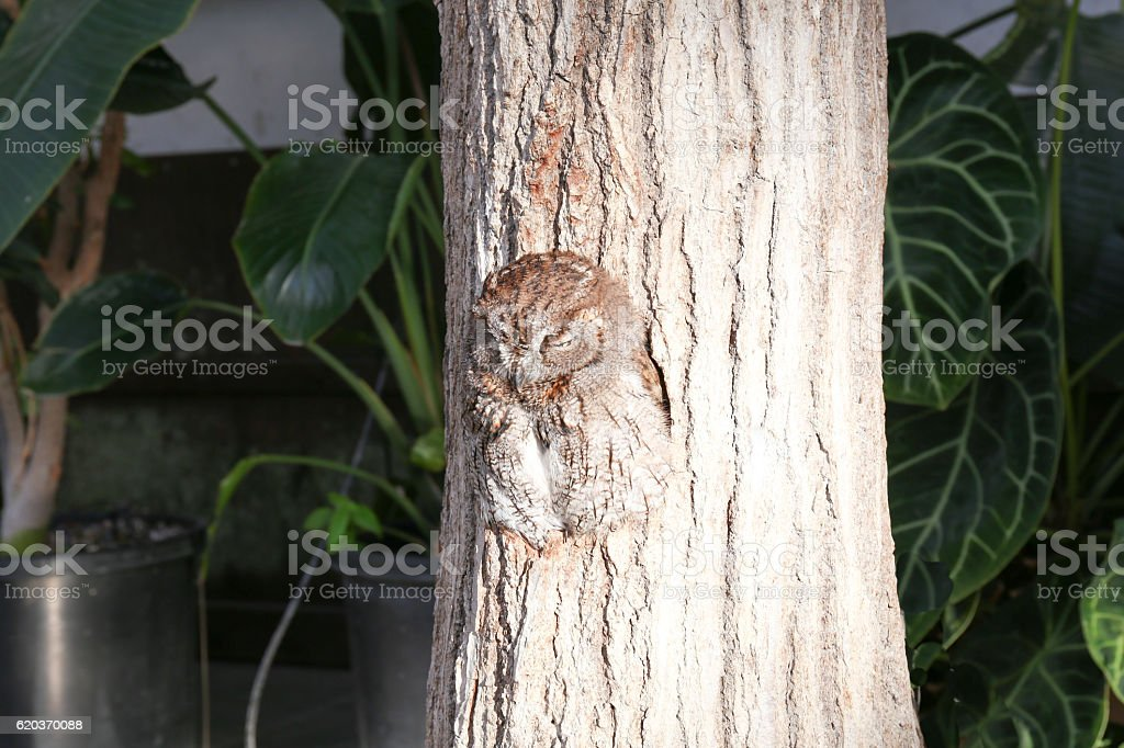 Sleeping owl in  a hole of tree trunk(3) zbiór zdjęć royalty-free