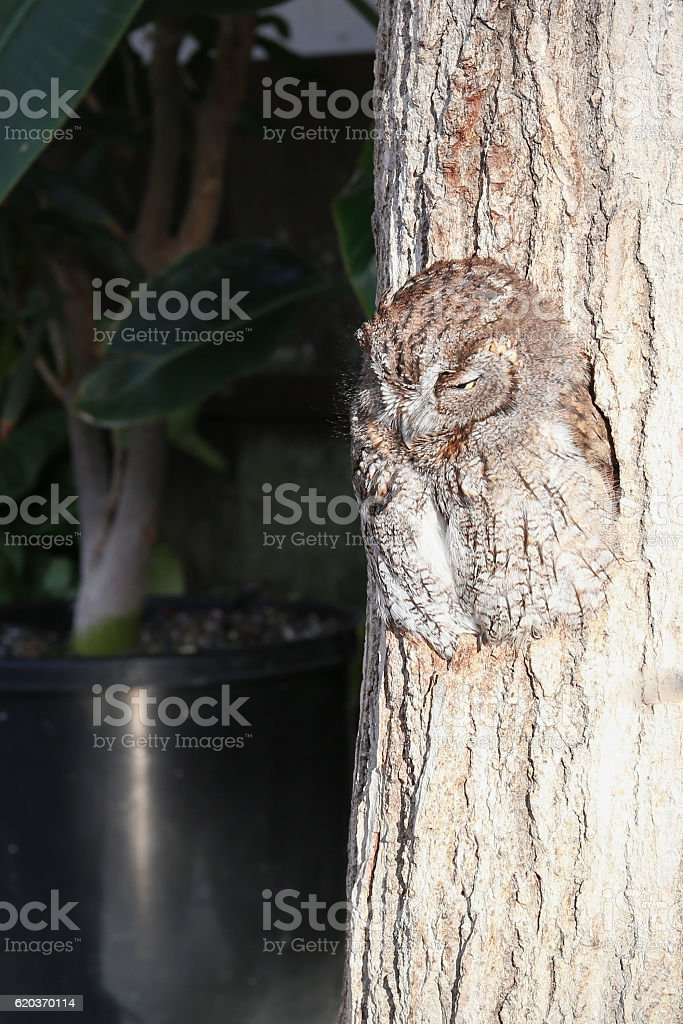 Sleeping owl in  a hole of tree trunk(2) foto de stock royalty-free