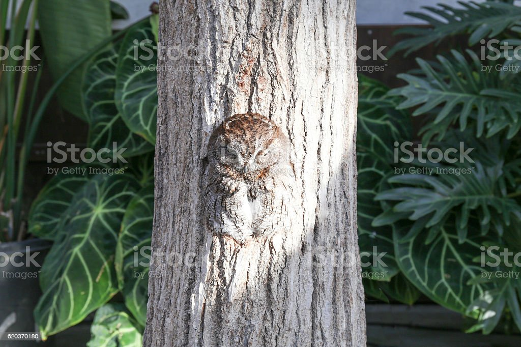 Sleeping owl in  a hole of tree trunk(1) foto de stock royalty-free