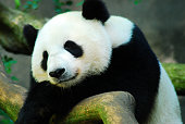 A panda rests himself on a comfortable rock