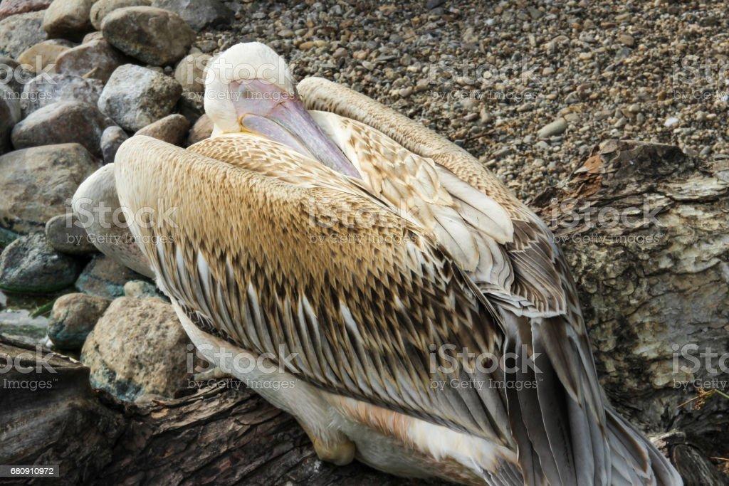 Sleeping pelican royalty-free stock photo