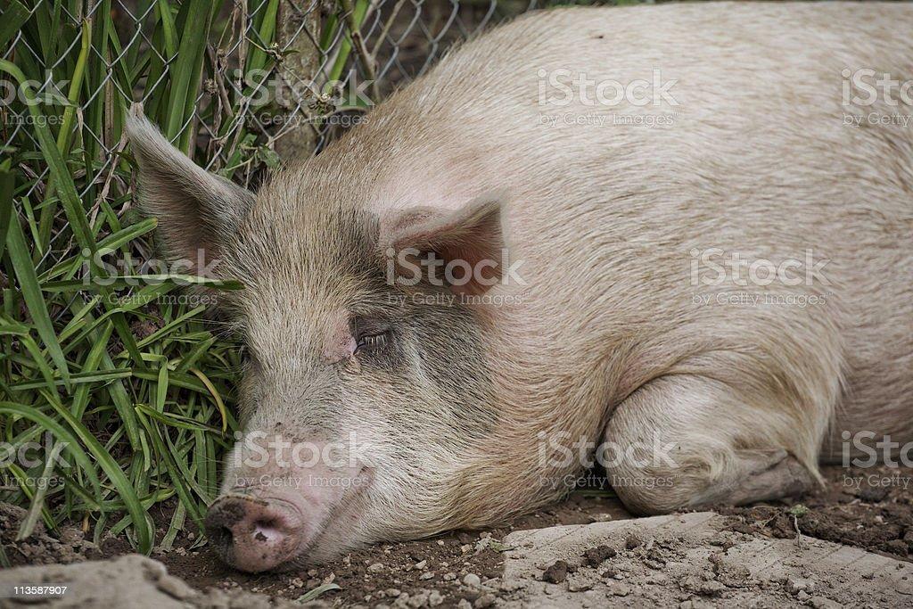 Sleeping Pig Closeup stock photo