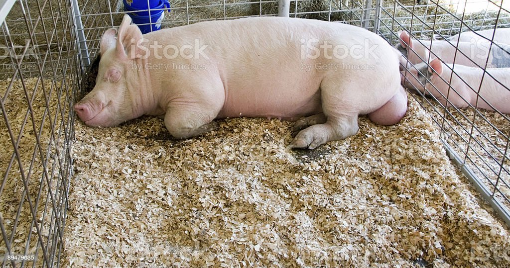 Sleeping Pig stock photo