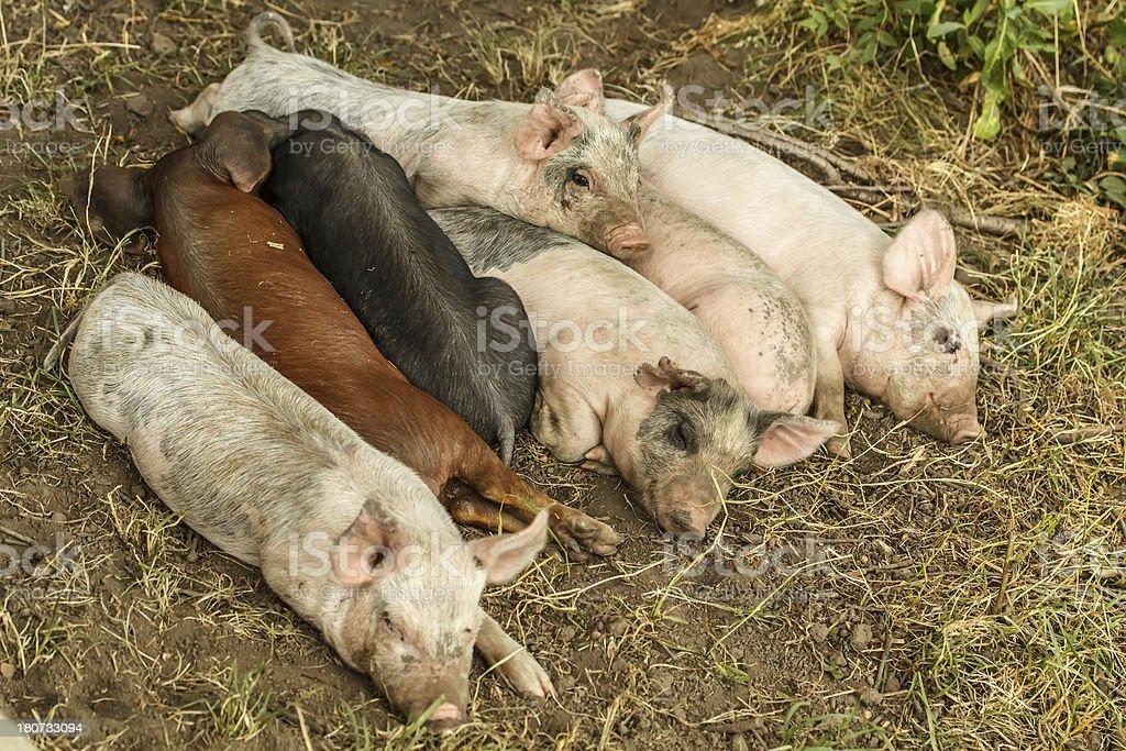 Sleeping piglets royalty-free stock photo