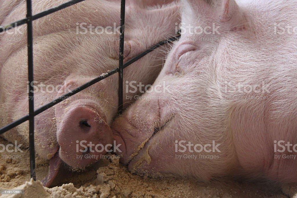 Schlafen und Schweinen – Foto