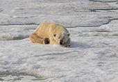Cute Polar Bear sleeping calmly