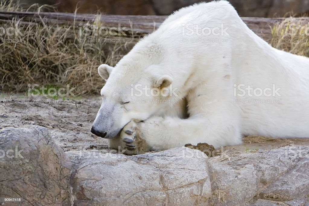 Sleeping Polar Bear royalty-free stock photo