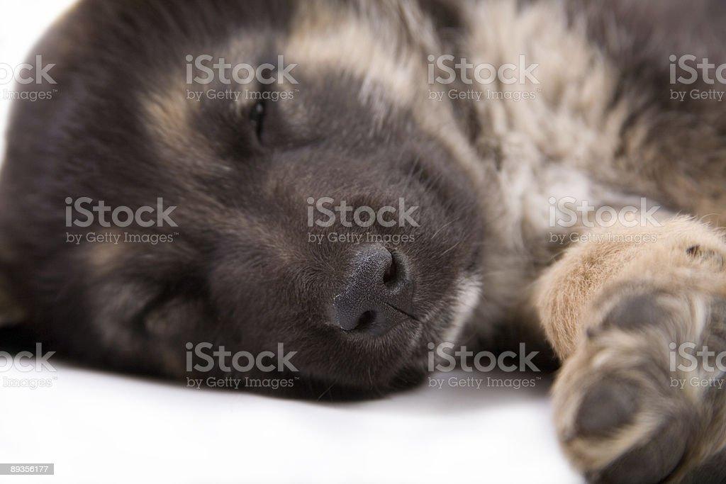 Sonno cucciolo cane, isolato su bianco foto stock royalty-free