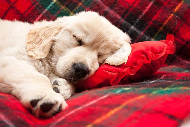 Sleeping puppy on plaid stock photo