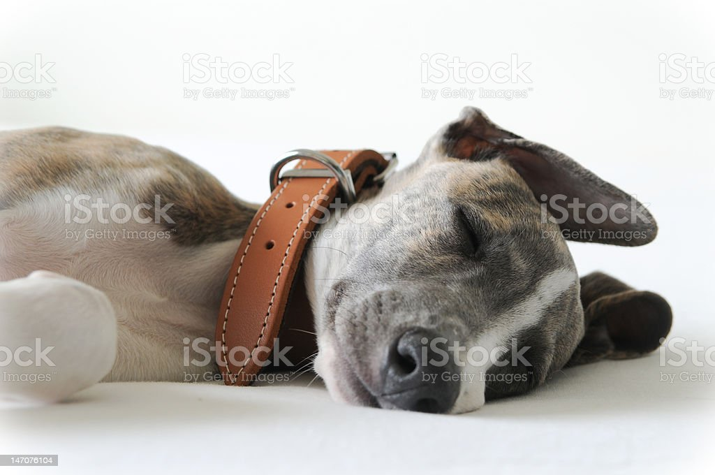 Sleeping Puppy on White royalty-free stock photo