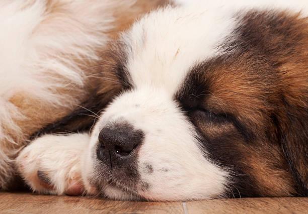 Welpen schlafen. – Foto
