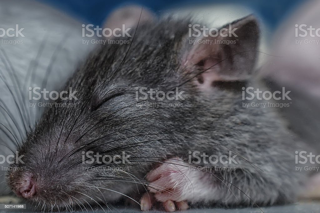 sleeping rat sleeping rat Animal Stock Photo
