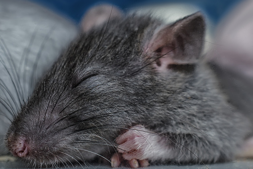 Sleeping Rat Stock Photo - Download Image Now