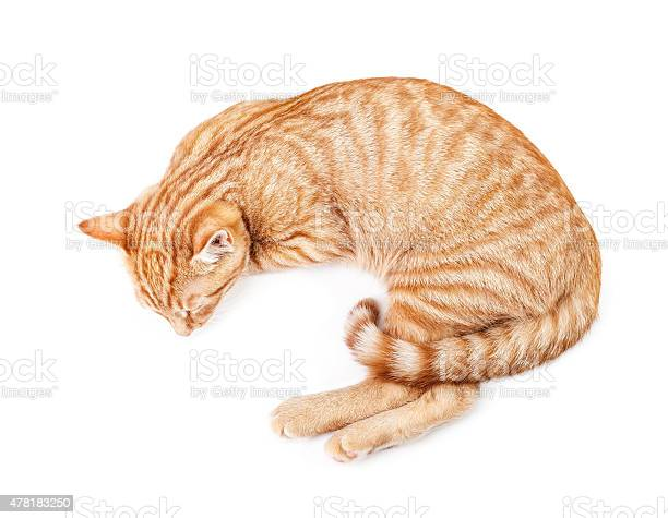 Sleeping red cat isolated on a white background picture id478183250?b=1&k=6&m=478183250&s=612x612&h=u3ebjspvbzfhkqx9m iqwqqewhvciain3j7r luxkom=