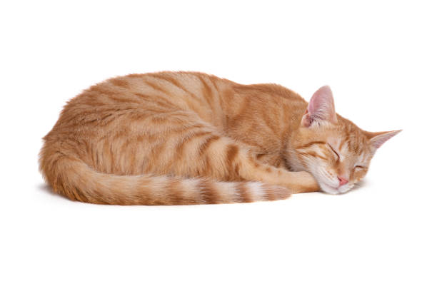 Sleeping red cat on white background picture id1079800720?b=1&k=6&m=1079800720&s=612x612&w=0&h=wq8mehwkgnlciu7pr6aaec5m1vgquqyctilpieq2ags=