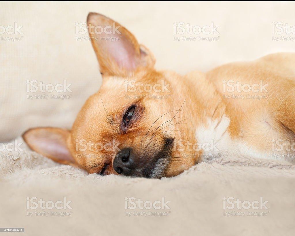 Chambre Rouge Chien Chihuahua Sur Fond Beige. Photo Libre De Droits