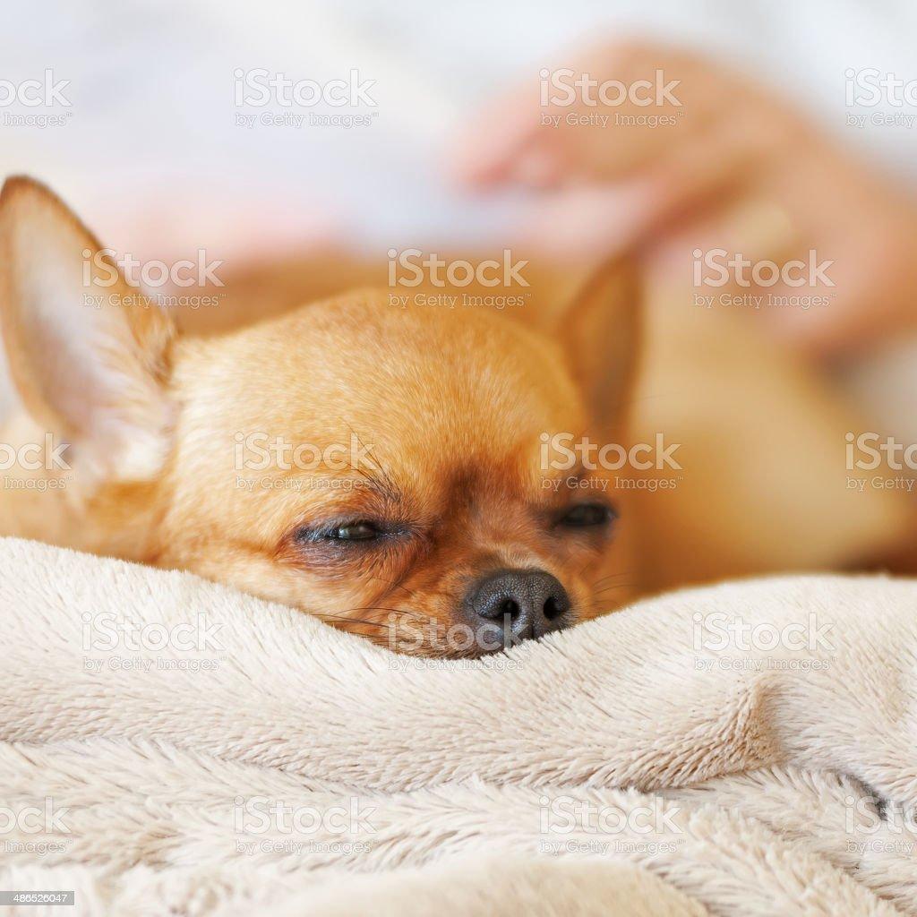 Photo libre de droit de Chambre Rouge Chien Chihuahua Sur Fond Beige ...