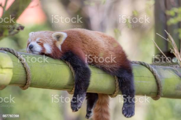 Sleeping red panda funny cute animal image picture id667782268?b=1&k=6&m=667782268&s=612x612&h=mujaljmsst7bnsrx5m0l0 o 1ujjor44f zsohtdflq=