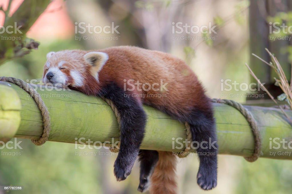 Sleeping Red Panda. Funny cute animal image. stock photo