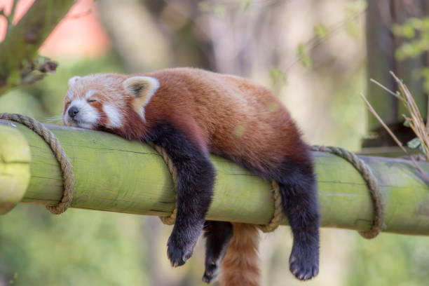 sleeping red panda. funny cute animal image. - sloth stock pictures, royalty-free photos & images