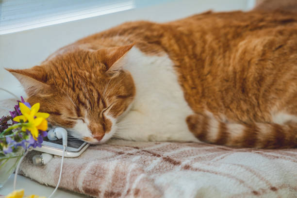 Sleeping red-white cat on mobile phone and headphones stock photo