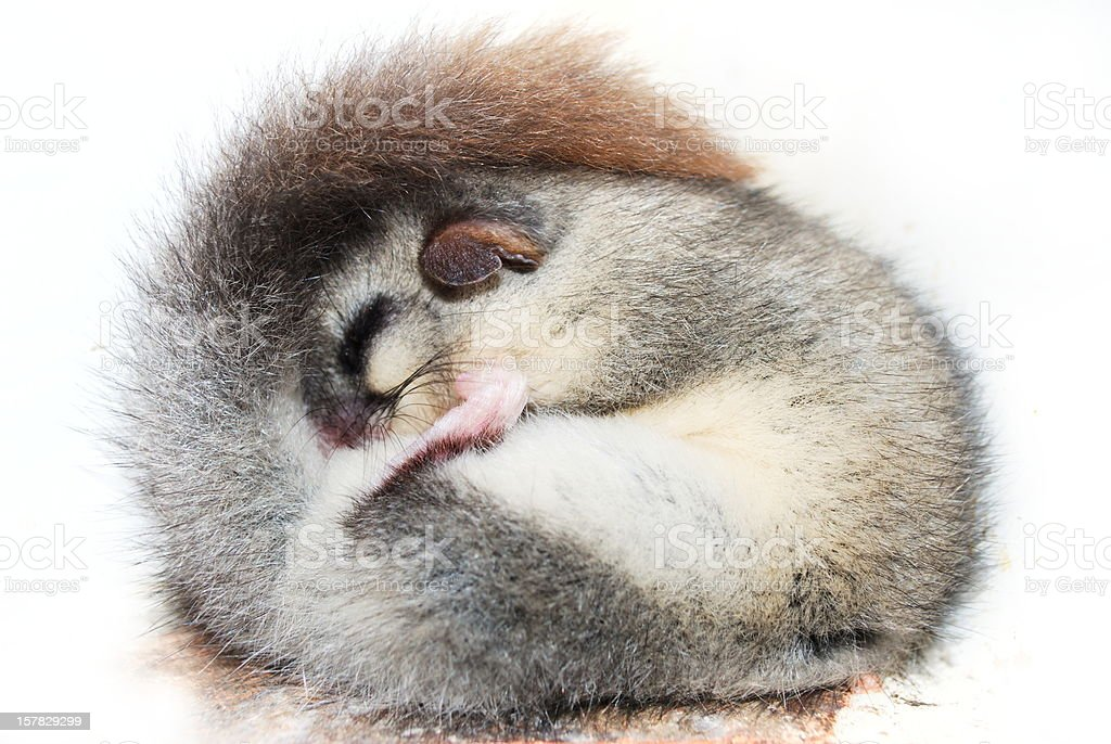 Sleeping rolled up dormouse stock photo