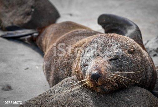 Sleeping sea lion on beach at Sandfly Bay, Otago New Zealand