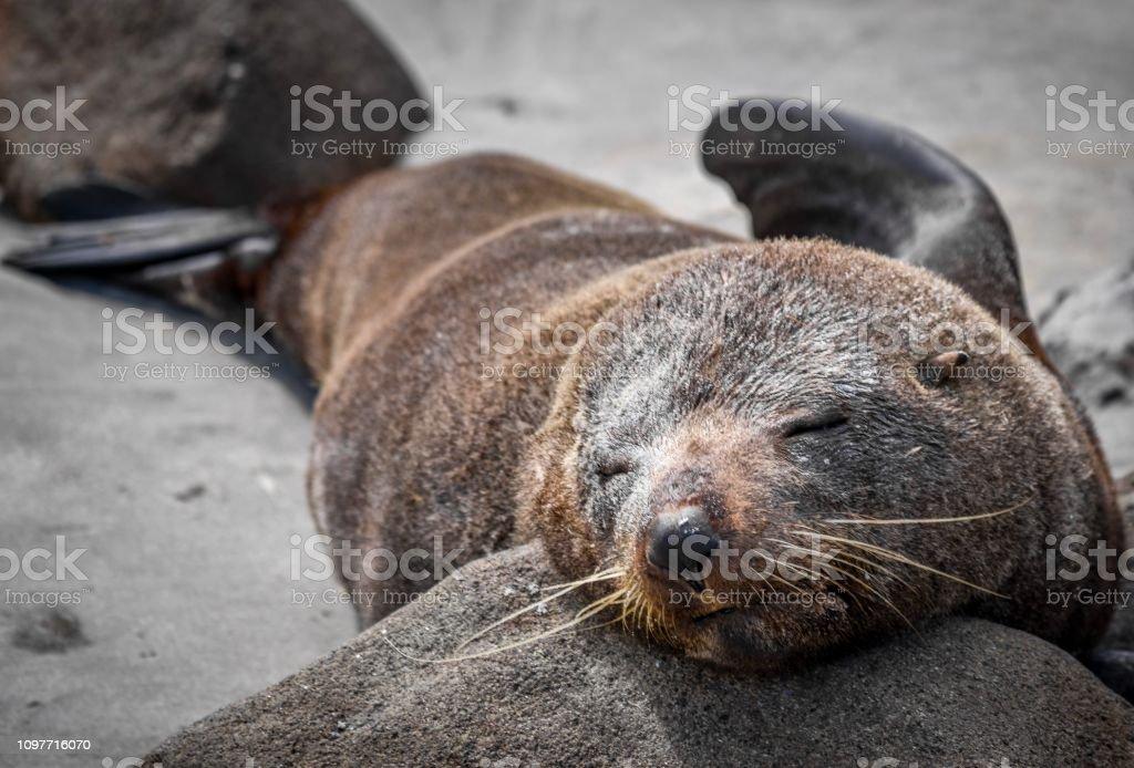 Sleeping sea lion on beach at Sandfly Bay, Otago New Zealand stock photo