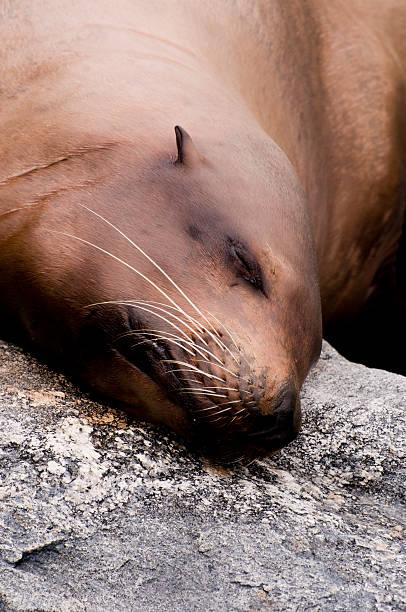 Sleeping Sea Lion stock photo