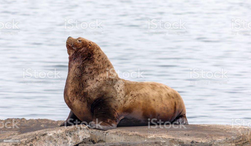 Schlafen sea lion – Foto