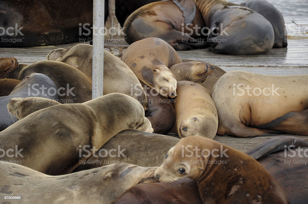 Sleeping Sea Lions royalty-free stock photo