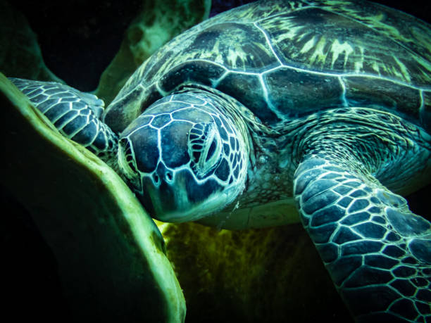Sleeping Sea Turtle stock photo
