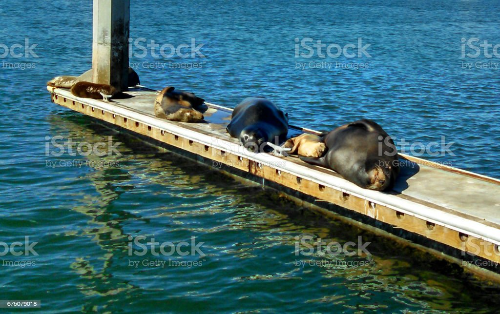 Sleeping Seals in Oceanside, CA stock photo