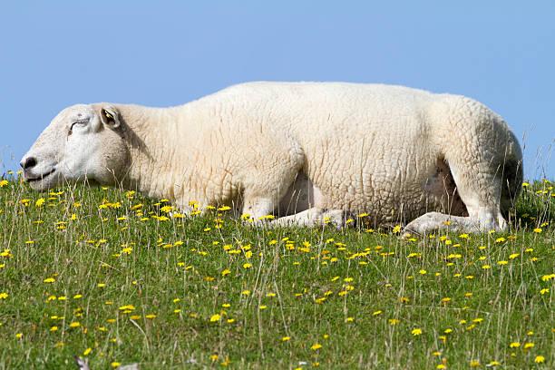 Sleeping sheep in the sun stock photo