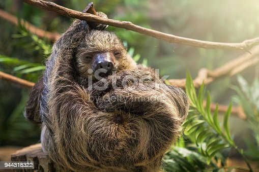 A cute sloth sleeping as he hangs from a vine.