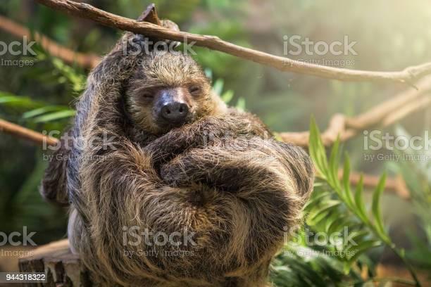 Sleeping sloth picture id944318322?b=1&k=6&m=944318322&s=612x612&h=kwvzl0dxyvv ziyxy5hj52wgon3bfcjp8fa5igtfgcu=