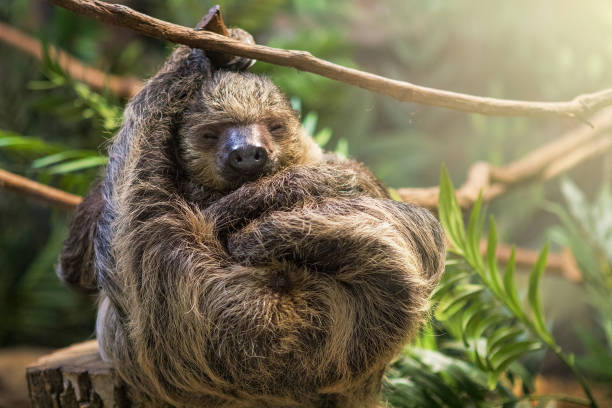 sleeping sloth - sloth stock pictures, royalty-free photos & images