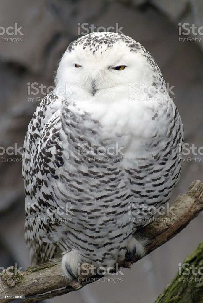 Sleeping Snowy Owl royalty-free stock photo