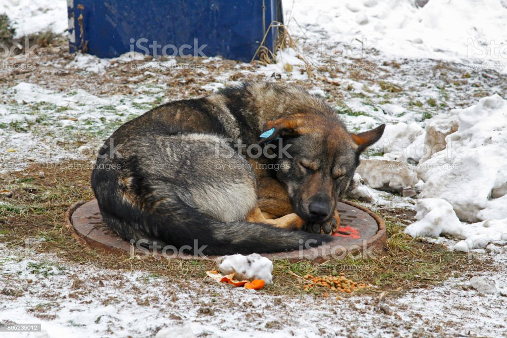Sleeping stray dog with a clip in the ear stock photo
