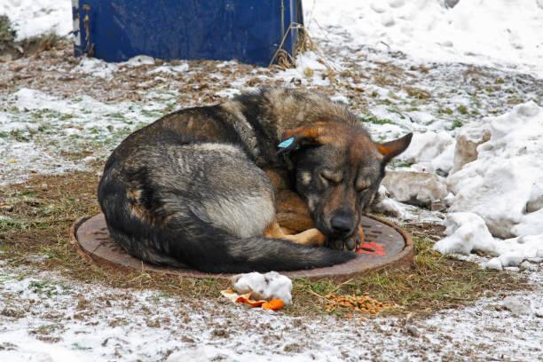 perro durmiendo con un clip en el oído - perros abandonados fotografías e imágenes de stock