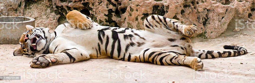 Sleeping Tiger Photograph by Jai Johnson