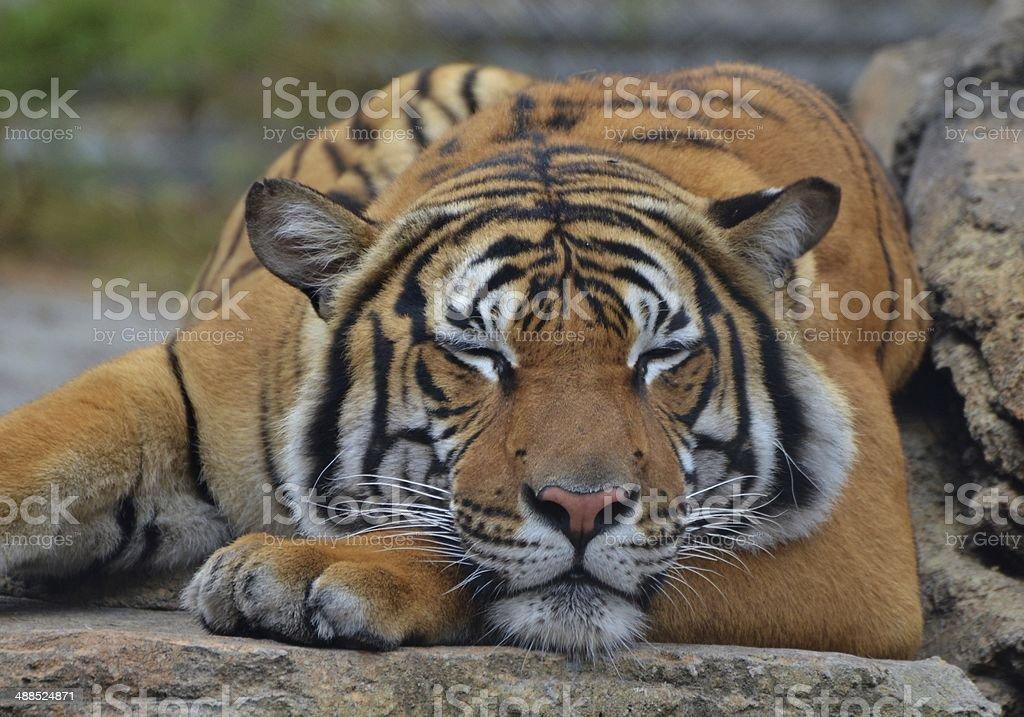 Sleeping Tiger Wakes by JeweledFaith on DeviantArt
