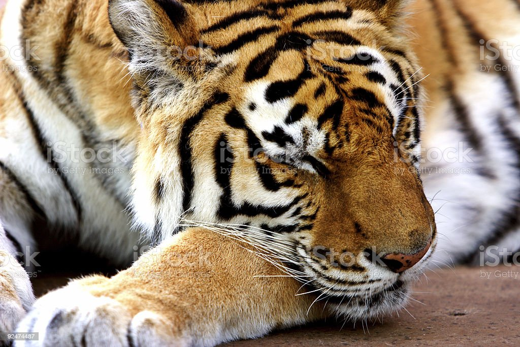Sleeping Tiger royalty-free stock photo