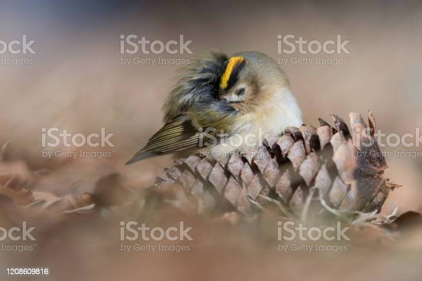 Photo of Sleeping time for the Goldcrest (Regulus regulus)